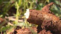 Agroindústria movimenta colheita da mandioca no RS