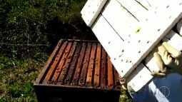 Pequeno Besouro da Colméia provoca danos à produção dos apiários