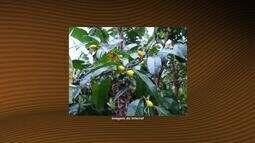Quadro 'O que é isso?' fala sobre a fruta cambuí