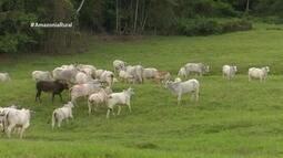 Parte 2: Plantio de leguminosas com pasto auxilia a criação do gado de corte