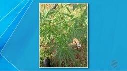 Guarda Municipal de Dourados encontra pé de maconha plantado em mata