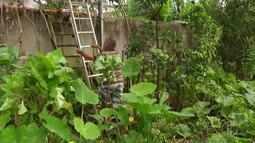 Conheça uma plantação de couve gigante em Barra de São João