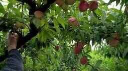 Produtores investem na plantação de pêssego no Campo das Vertentes