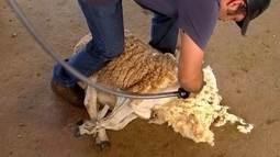 Criadores de ovelhas do Centro-Oeste de SP fazem tosquia do rebanho