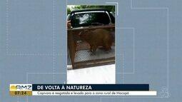 Após invadir salão de beleza, capivara é resgatada e solta na natureza em Macapá