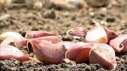 Dias ensolarados e de temperatura alta favorecem produção de alho no RS