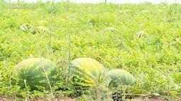 Safra da melancia deste ano agrada produtores e consumidores do RS