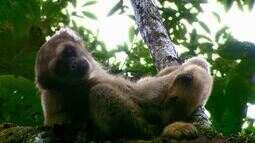 As duas espécies de muriquis são exclusivas do Brasil