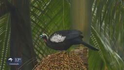 Terra da Gente: conheça uma ave importante da nossa região, a Jacutinga