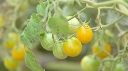 Produtor de São Miguel Arcanjo investe em mini vegetais