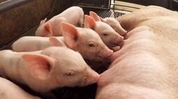 Criadores de suínos estão otimistas com mercado