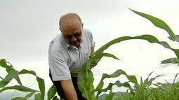 Safra de milho anima produtores do Ceará