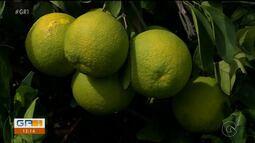 Embrapa está desenvolvendo estudos para avaliar um novo tipo de fruta