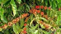 Café clonal é opção de renda para pequenas propriedades de MT