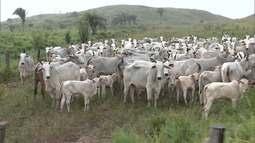 Mirante Rural mostra interesse de pecuaristas colombianos com criação de gado nelore no MA