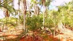 Considerada cidade da guariroba, Aurilândia tem até banco de sementes da palmeira