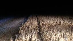 Colheita noturna de milho
