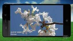 Veja alguns registros de ipês floridos, capturados por um morador de Palmas
