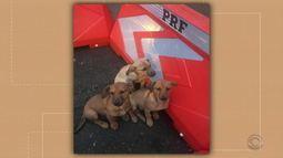 Filhotes de cães são abandonados na BR-285 em Passo Fundo
