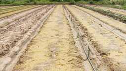 Chuva afeta produção de hortaliças no Oeste do Maranhão