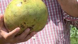 Manga gigante é encontrada na cidade de Anajatuba