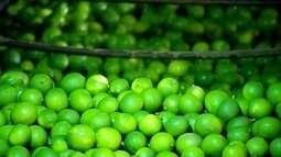 Técnicas melhoram a produtividade do limão na região de Itajobi