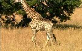Por que a girafa tem aquele pescoção?