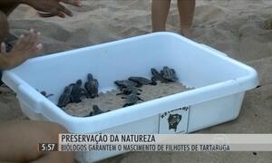 Monitoramento de biólogos garante reprodução de filhotes de tartarugas