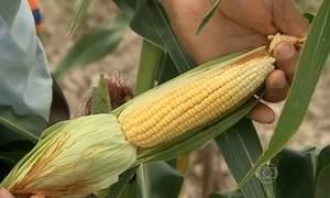 Alta do milho deixa pratos típicos das festas juninas mais caros