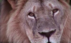 Dentista que matou leão no Zimbábue já tinha sido multado por caçar urso