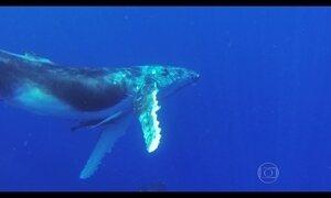 Família Schurmann mergulha com baleias e filhotes no Oceano Pacífico