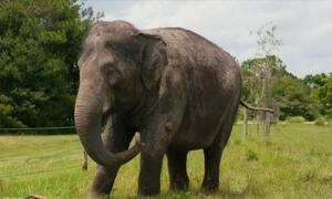 Cientistas estudam elefantes para melhorar o combate ao câncer