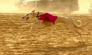 Saluki, o cão mais veloz do mundo, custa o mesmo que um apartamento