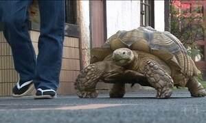 Jabuti de 70 kg mora em funerária em Tóquio e chama atenção dos vizinhos