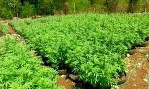 Jamaica quer criar indústrias de medicamentos à base de maconha