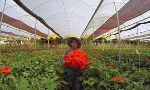 Maior plantação de rosas do Brasil fica no Ceará, na Serra de Ibiapaba