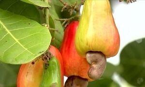 Produtores de caju do Ceará comemoram a boa fase
