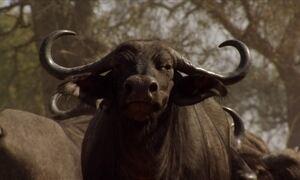 Búfalo africano é capaz de enfrentar sozinho um grupo de leões
