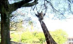 Girafas entram na lista de animais que correm o risco de extinção