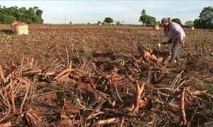 Agricultores reduzem em 21% a área plantada com mandioca no PR