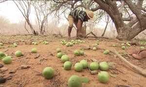 Resultado de imagem para UMBUZEIRO, ÁRVORE NATIVA DO NORDESTE, SOCORRE AGRICULTORES NA SECA