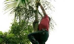 Açaí da palmeira juçara gera emprego e renda no interior do RJ