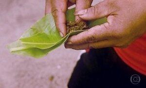 Plantas medicinais são usadas no lugar de remédios em Yap