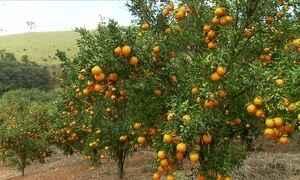 Produção de tangerina ponkan cresce em Minas Gerais