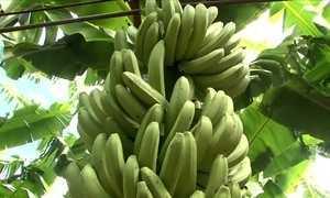 Município da Bahia se destaca na produção de banana