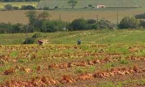 Colheita do feijão em Sergipe começa com expectativa de boa safra