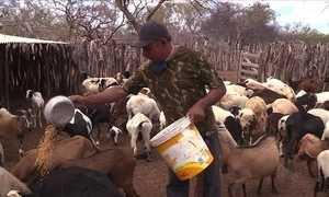 Milho a preço abaixo do mercado alivia criadores do sertão de Pernambuco