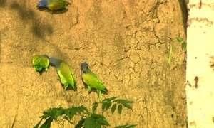 Argila é parte da alimentação de aves em reserva protegida no Peru