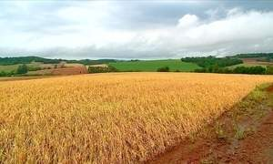 Chuva não dá trégua no RS e afeta plantio de arroz e colheita do trigo