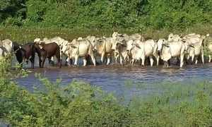 Cheia antecipada no Pantanal força pecuaristas a retirar o gado do pasto